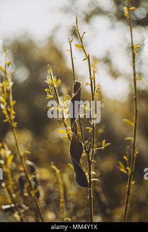 leaves and fruit of cistus outdoors - Stock Photo