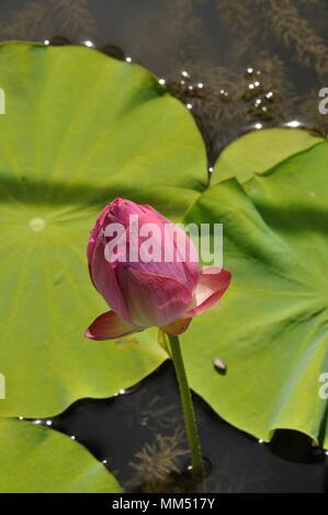 Pink Lotus (Hong Xu Yu) - Stock Photo