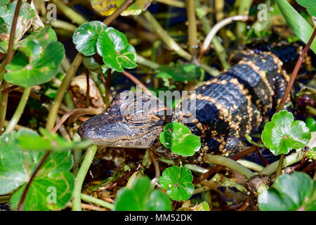 American alligator babies hiding in vegatation. - Stock Photo