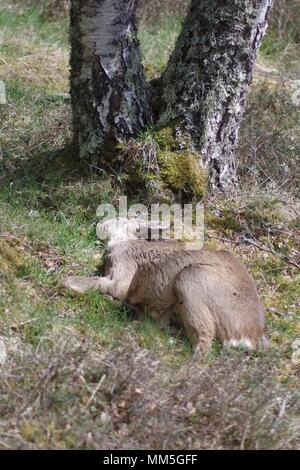 Dead Roe Deer (Capreolus capreolus) by a Forked Silver Birch Tree. Muir of Dinner NNR, Cairngorms, Scotland, UK. May, 2018. - Stock Photo