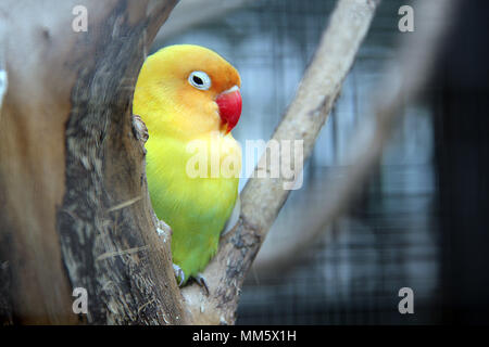 Love bird (Agapornis) - Stock Photo