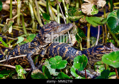 American alligator babies hiding in vegetation. - Stock Photo