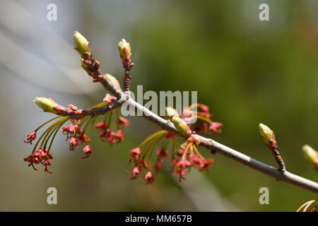 Close up of Acer Rubrum Redpointe Red Maple tree flowers with early leaf buds in Spring - Stock Photo