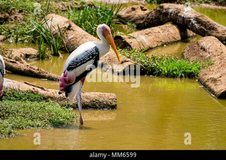a white painted storks bird walking on zoo close view looking awesome. - Stock Photo