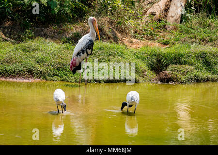 A couples of painted storks bird standing on steady at muddy water for fish close view. - Stock Photo