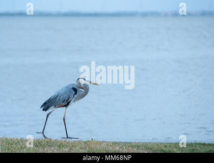 Great Blue Heron standing on a low wall next to the Banana River in Cocoa Beach, Florida. - Stock Photo