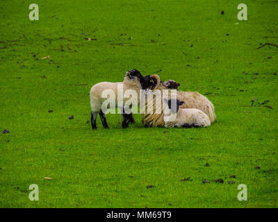 Sheeps in Ireland - a typical view - Stock Photo