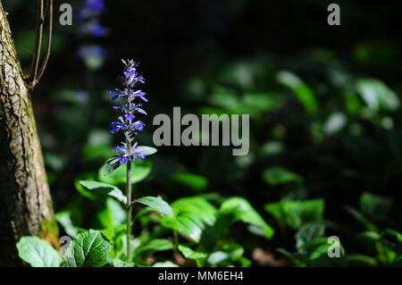 (Ajuga reptans) commonly known as bugle, blue bugle, bugleherb, bugleweed, carpetweed, carpet bugleweed, common bugle or St. Lawrence plant in the. - Stock Photo