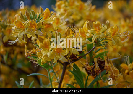 Rhododendron luteum azalea yellow blossom Lush rhododendron flowers close up Rhododendron blooming Rhododendron flowering spring Rhodendron blooms - Stock Photo