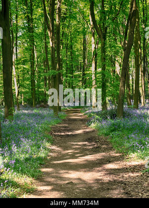 Dappled Sunshine on an English Woodland track lined with Spring Bluebells - Stock Photo