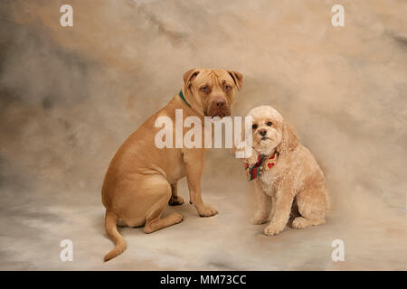 Portrait of Pit Bull and Cockapoo facing camera with inquisitive looks in studio - Stock Photo