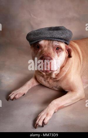 Elderly Pit Bull wearing Irish Cap - Stock Photo
