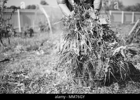 Fresh grass in a basket cut down via hand scythe, old man on the background, monochrome effect - Stock Photo