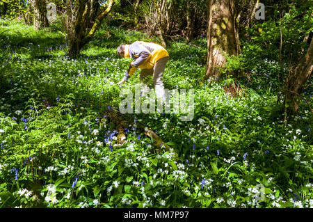 Ardara, County Donegal, Ireland  weather. 10th May 2018. A perfect day for foraging wild garlic, Allium ursinum, growing in a woodland clearing together with bluebells, buttercups and other wild flowers on a fine spring day. Credit: Richard Wayman/Alamy Live News - Stock Photo