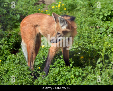 Maned wolf (Chrysocyon brachyurus), largest canid. It is only species in genus Chrysocyon (meaning 'golden dog'). - Stock Photo