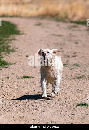 Wet, platinum colored Golden Retriever dog running on a central Colorado Ranch; USA - Stock Photo