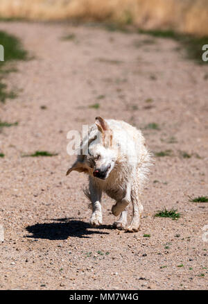 Wet, platinum colored Golden Retriever dog shaking off & running on a central Colorado Ranch; USA - Stock Photo