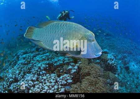 Female scuba diver takes close up video footage of Bumphead Maori wrasse ( Cheilinus undulatus). Raja Ampat, Indonesia - Stock Photo