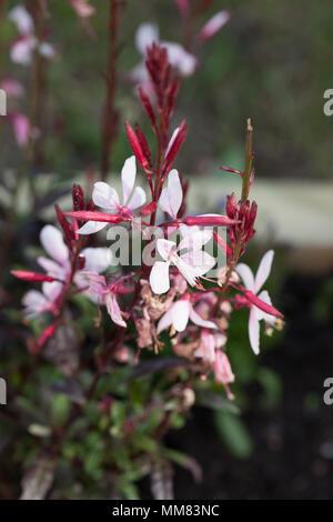 Lindheimer's beeblossom, Sommarljus (Gaura lindheimeri) - Stock Photo