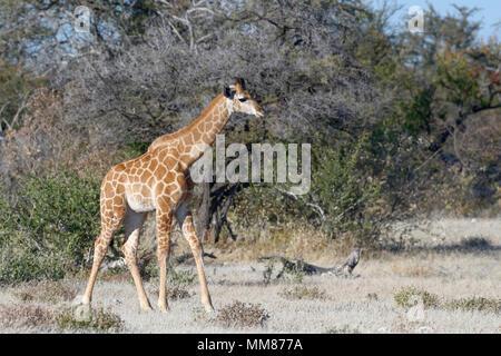 Namibian giraffe or Angolan giraffe (Giraffa camelopardalis angolensis), young animal standing, motionless, Etosha National Park, Namibia, Africa - Stock Photo