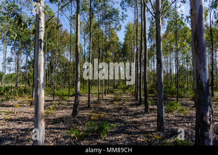 Eucalyptus grove with parallel trees revealing a path in the forest. - Stock Photo