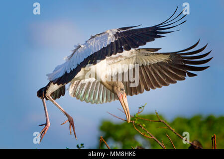 A young Wood Stork comes in for a picture perfect landing in the Florida Everglades. - Stock Photo