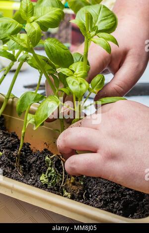 hands planting basil plants - Stock Photo
