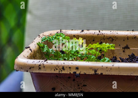 parsley grouped in pot - Stock Photo