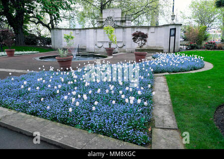 WhiteTulip and forget-me-not garden planting in a Victoria Embankment garden - Stock Photo