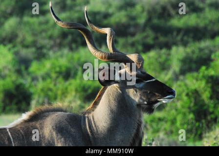 A beautiful wild Kudu Antelope encountered on safari in South Africa - Stock Photo