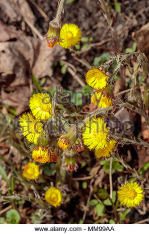 Coltsfoot Tussilago farfara a spring wildflower at Lynde Shores Conservation Area in Whitby Ontario Canada - Stock Photo