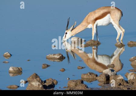 Springbok (Antidorcas marsupialis), adult female standing in water, drinking, Okaukuejo waterhole, Etosha National Park, Namibia - Stock Photo