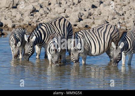 Herd of Burchell's zebras (Equus quagga burchellii), adults with two young animals, drinking, Okaukuejo waterhole, Etosha National Park, Namibia - Stock Photo