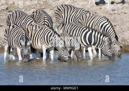 Herd of Burchell's zebras (Equus quagga burchellii), adults with young animal, drinking, Okaukuejo waterhole, Etosha National Park, Namibia, Africa - Stock Photo
