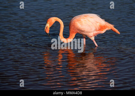 Flamingo (Phoenicopterus ruber) in a lagoon on Isabela Island, Galapagos Islands, Ecuador. - Stock Photo