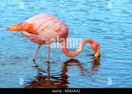 Flamingo (Phoenicopterus ruber) in a lagoon on Isabela Island, Galapagos Islands, Ecuador. - Stock Photo