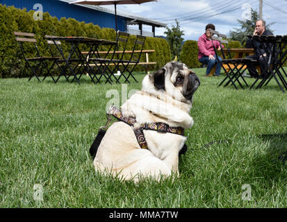 A happy pug concentrates hoping to get a chip from his owner as patrons of an outdoor restaurant look on. - Stock Photo