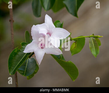 Beautiful pale pink flowers and emerald green leaves of rubber vine, Cryptostegia grandiflora, an invasive weed species in Queensland Australia Stock Photo