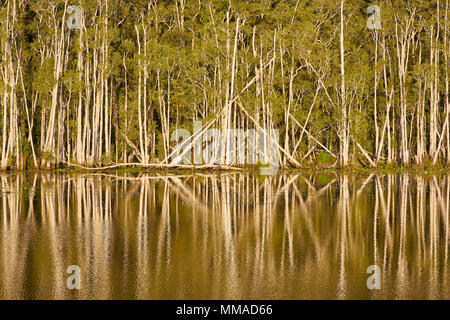 A row of Eucalyptus trees and their reflection at Urunga Wetlands, Coffs Coast, New South Wales, Australia - Stock Photo