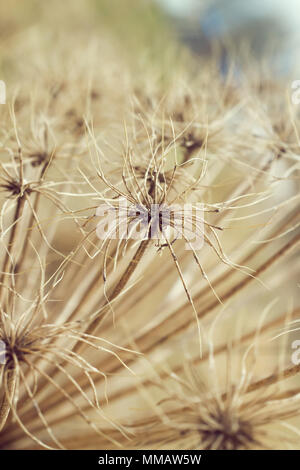 Old giant hogweed seeds in spring - Stock Photo