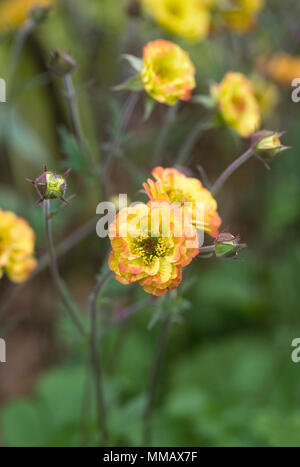 Geum 'Alabama Slammer' flowers. - Stock Photo