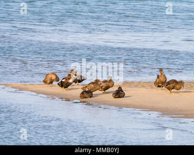 Group of male and female common eider ducks, Somateria mollissima, in eclipse plumage resting on sand bank of Waddensea, Netherlands - Stock Photo