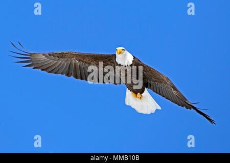 Beautiful Bald Eagle in flight, soaring on blue sky. - Stock Photo