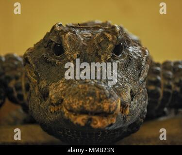 Isolated portrait of a Cuvier's dwarf caiman (Paleosuchus palpebrosus) looking straight towards the camera. - Stock Photo