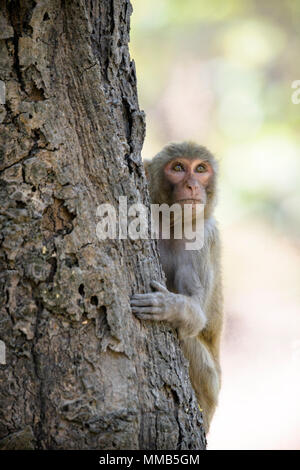 Adult wild Rhesus macaque, Macaca mulatta, climbing a tree, Bandhavgarh National Park, Madhya Pradesh, India - Stock Photo