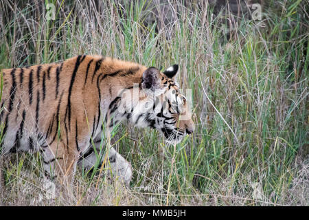 Two year old male Bengal Tiger, Panthera tigris tigris,side view, walking in the Bandhavgarh Tiger Reserve, Madhya Pradesh, India - Stock Photo