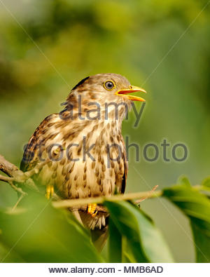 Common hawk cuckoo juvenile calling. - Stock Photo