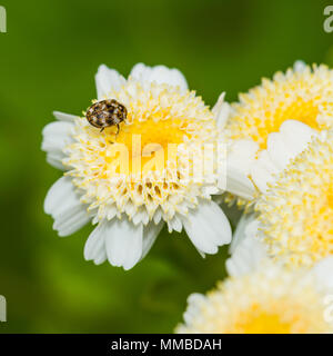A macro shot of a beetle sitting on a feverfew bloom. - Stock Photo