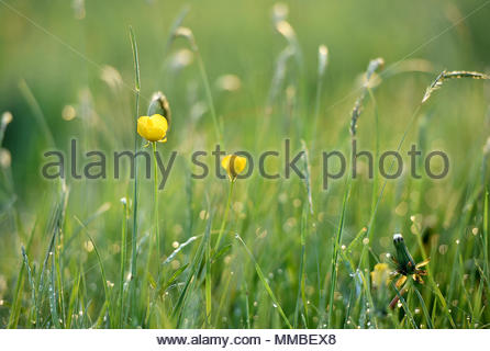 The sun rises over the Wiltshire village of Edington. Buttercups and grasses are iluminated by the early morning light. - Stock Photo