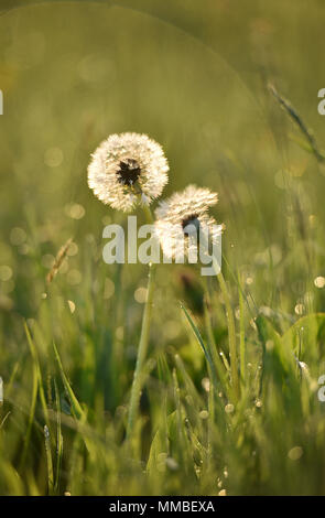 The sun rises over the Wiltshire village of Edington. Dandelions are iluminated by the early morning light. - Stock Photo